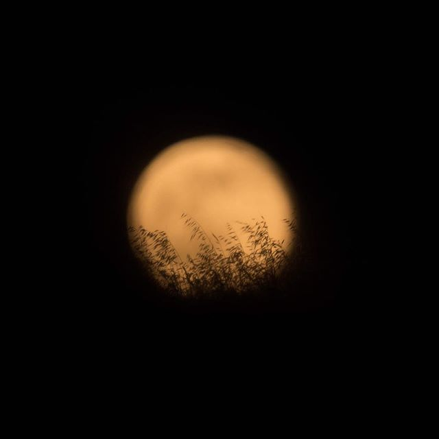 Grasses silhouetted against the rising full moon
