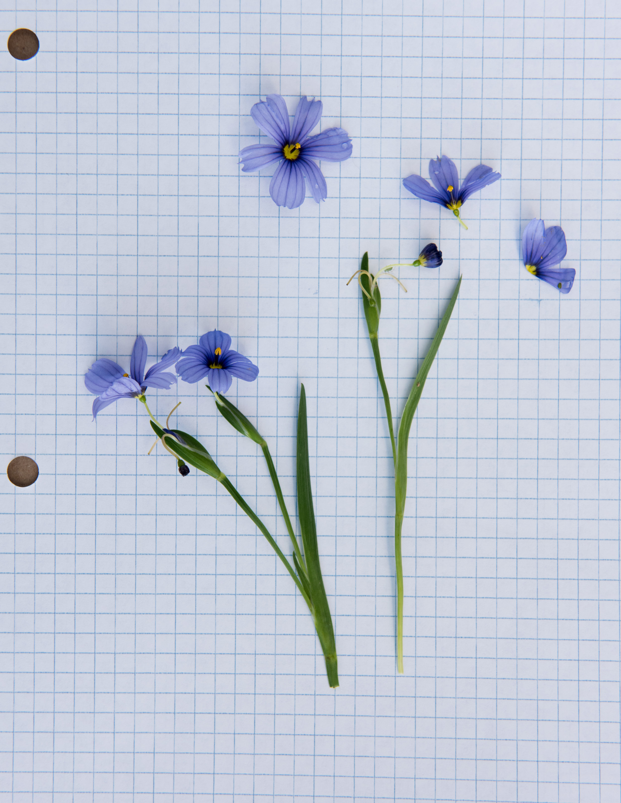 Blue-Eyed Grass, freshly dissected flowers