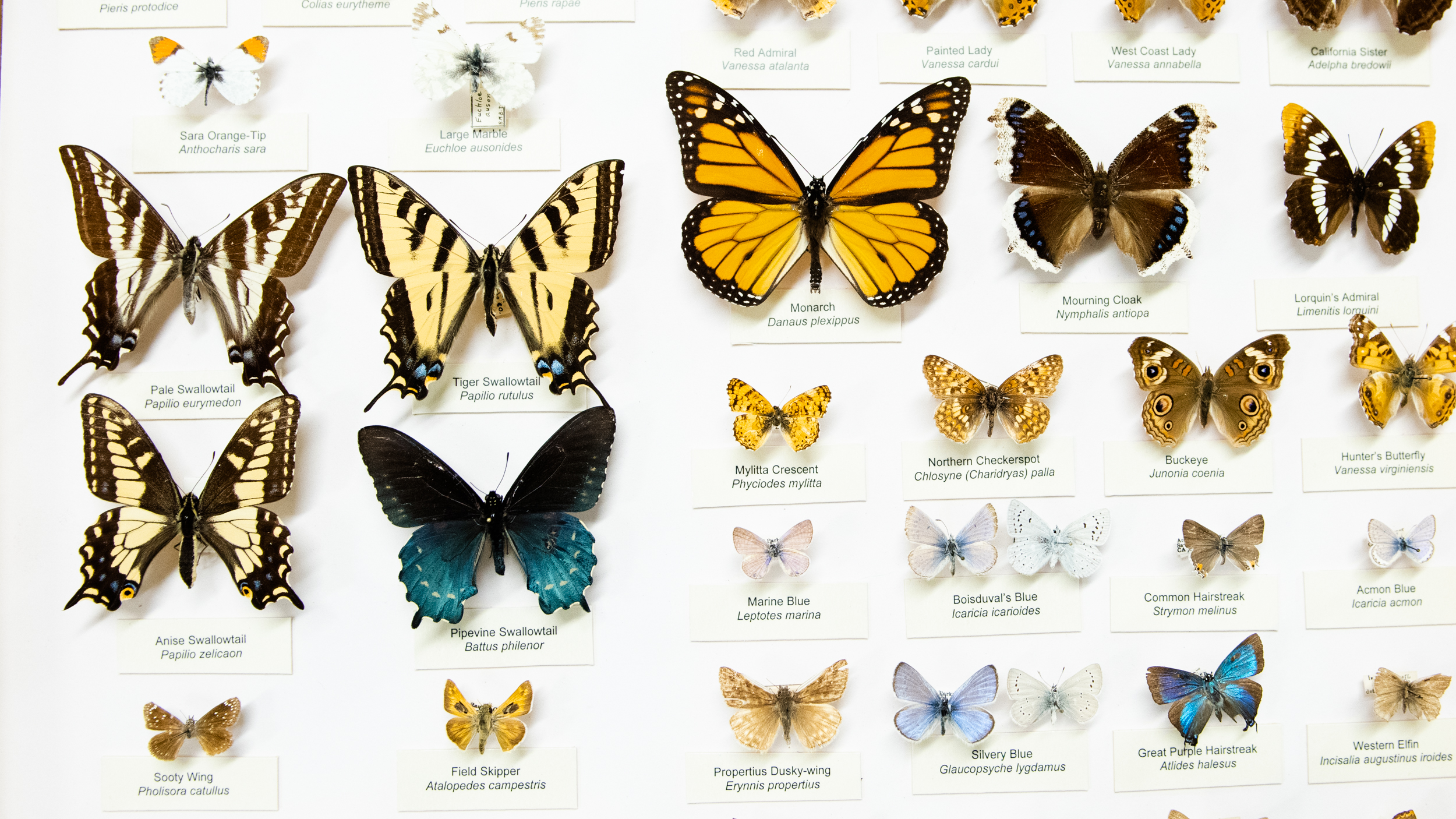 """ Butterflies of California "" display at the Bohart Museum of Entomology in Davis, California"
