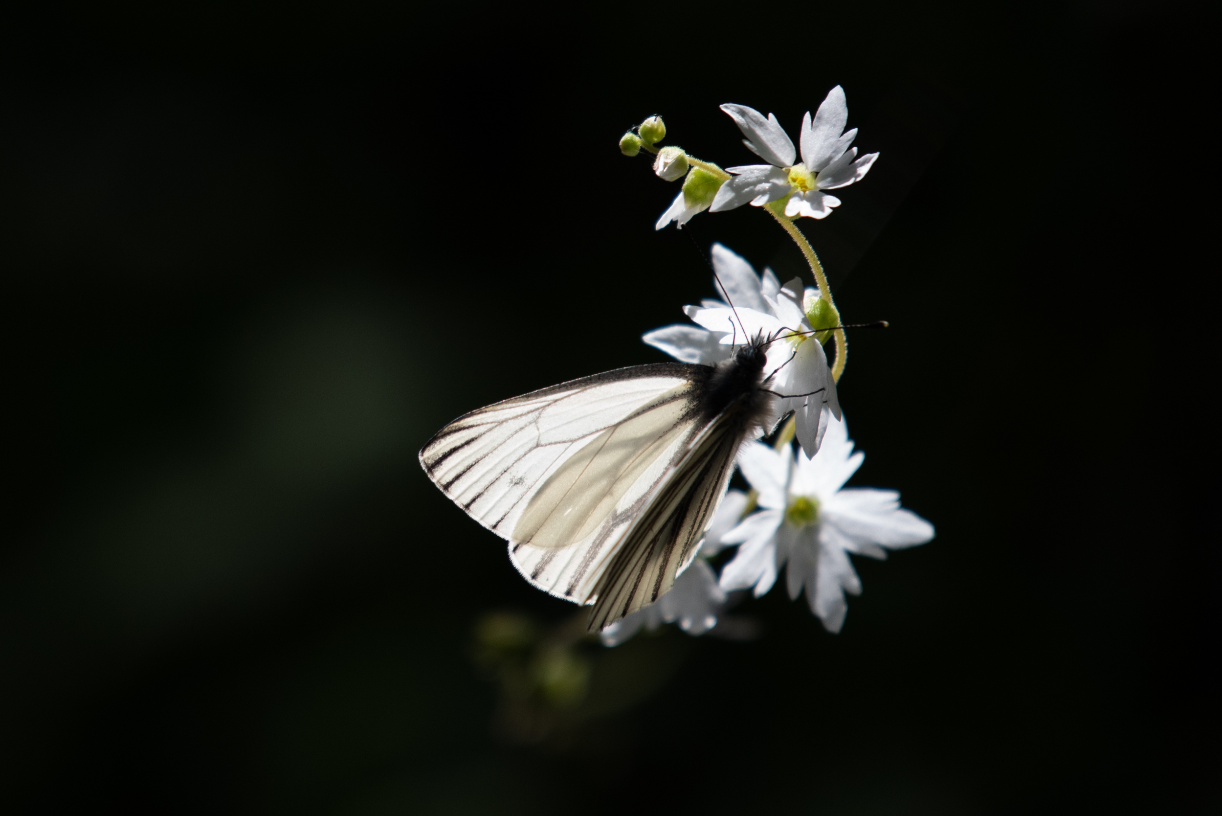 Green-veined White ( Pieris napi).  This egg laying female was visiting Saxifrage.