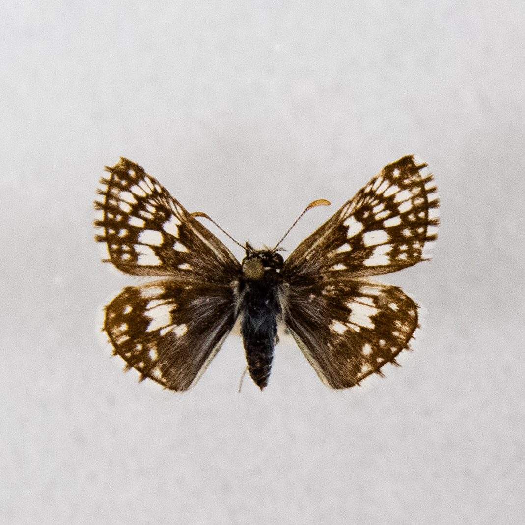 Common Checkered Skipper   Pyrgus communis
