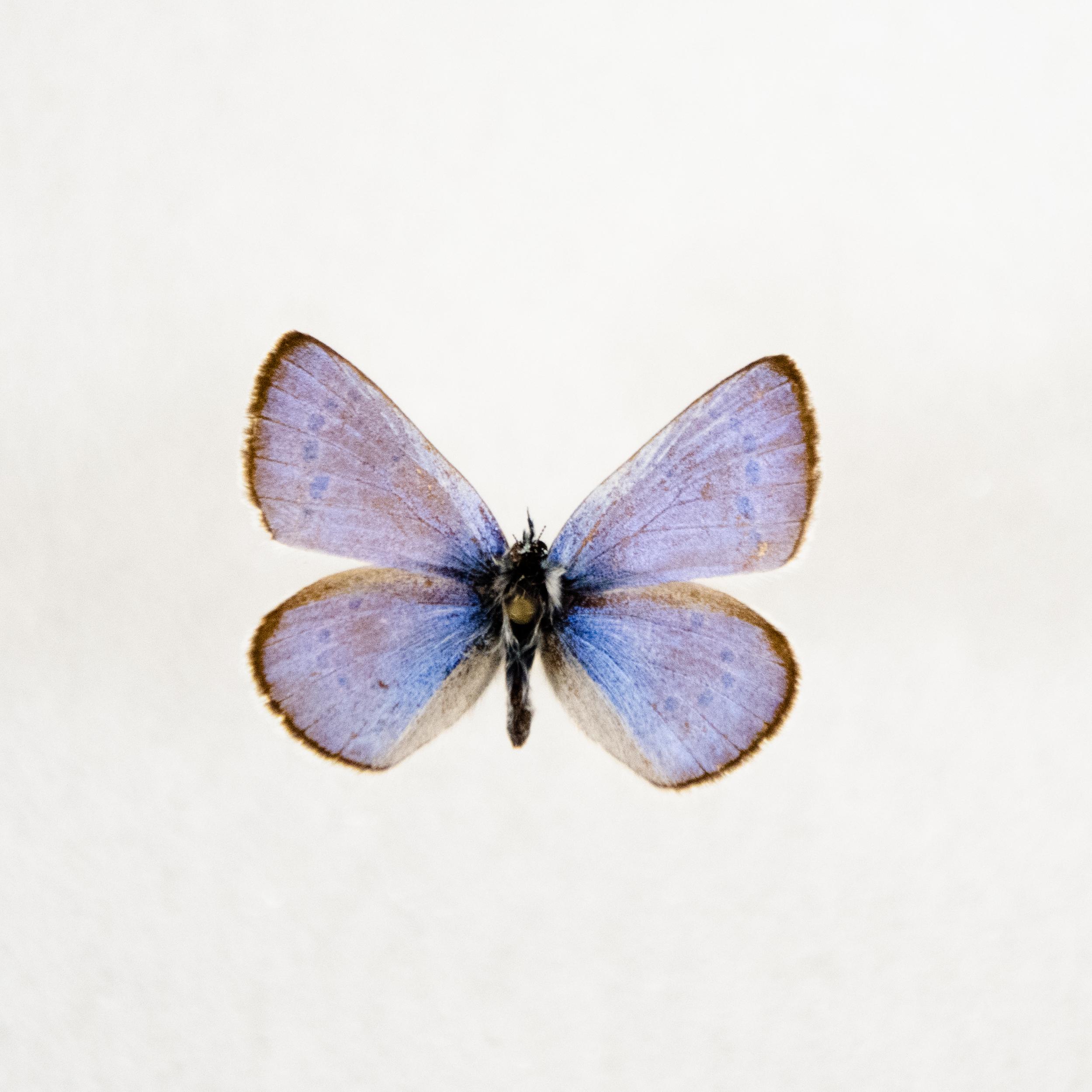 Silvery Blue   Glaucopsyche lygdamus