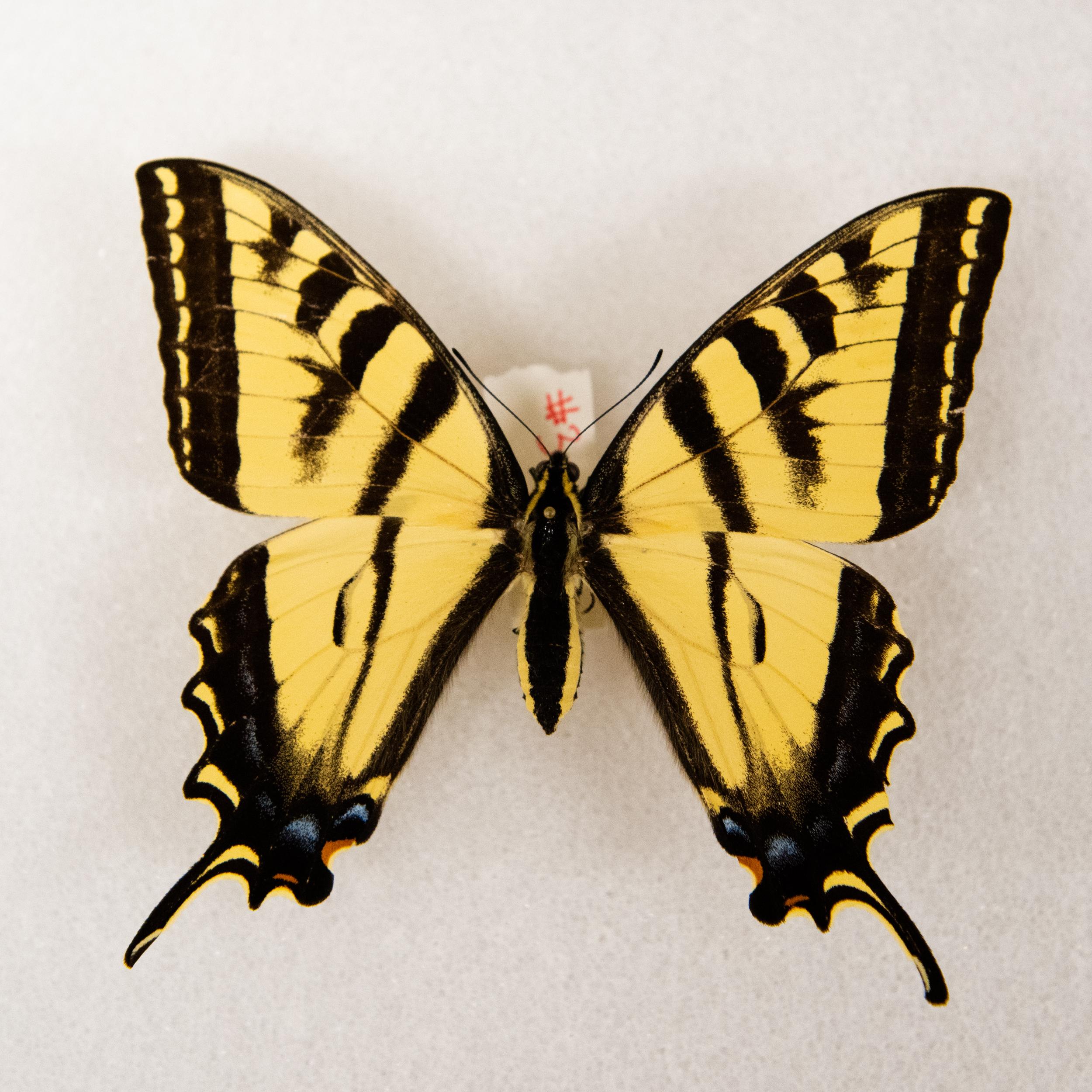 Tiger Swallowtail   Papilio rutulus
