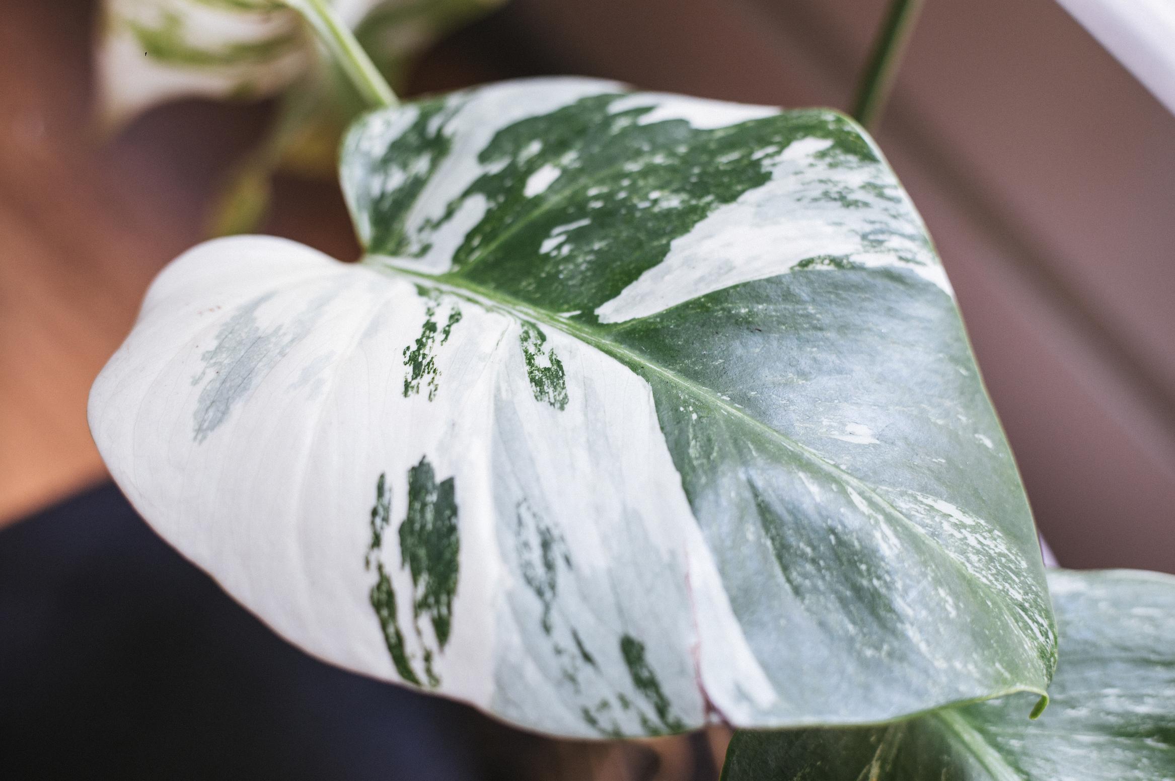 variegated monstera 1