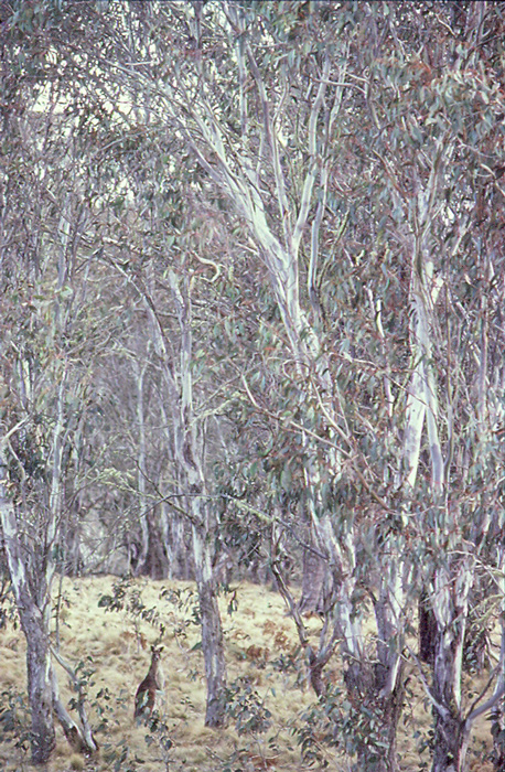 Kangaroo, New England National Park, New South Wales.