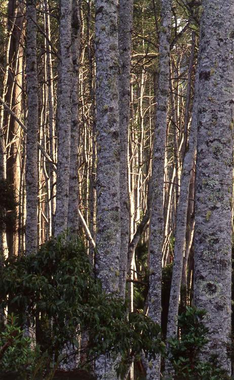 Trees, National Park, Tasmania.