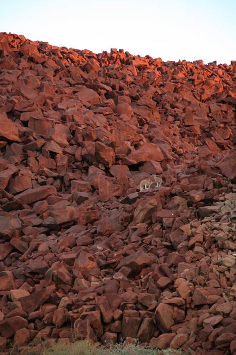Wallabies on rock, Burrup Peninsula, Pilbara, Western Australia.