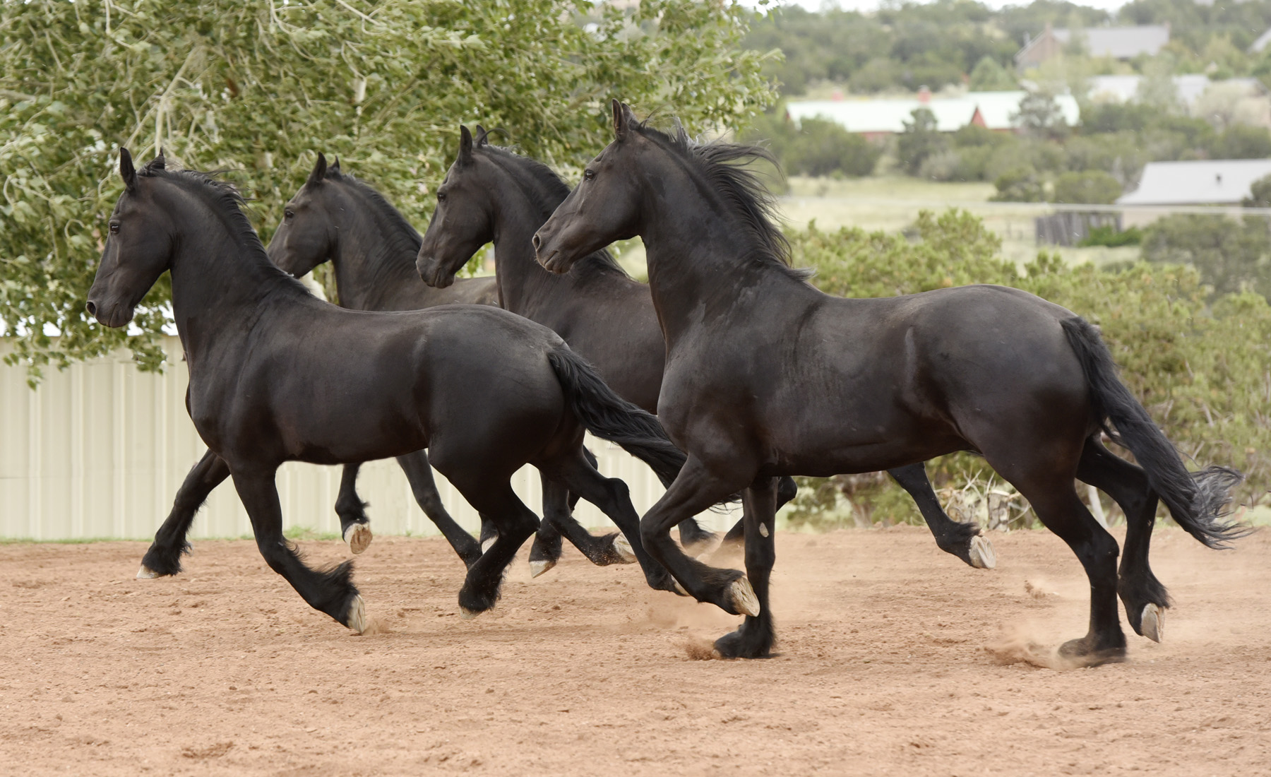 Photo feature: Proud Friesians Prins, Hannes, Gehrlof, and Willem owned by Betsy S. and Tim N. have lived at Trinity for more than 5 years. Photo Credit: Tony Stromberg