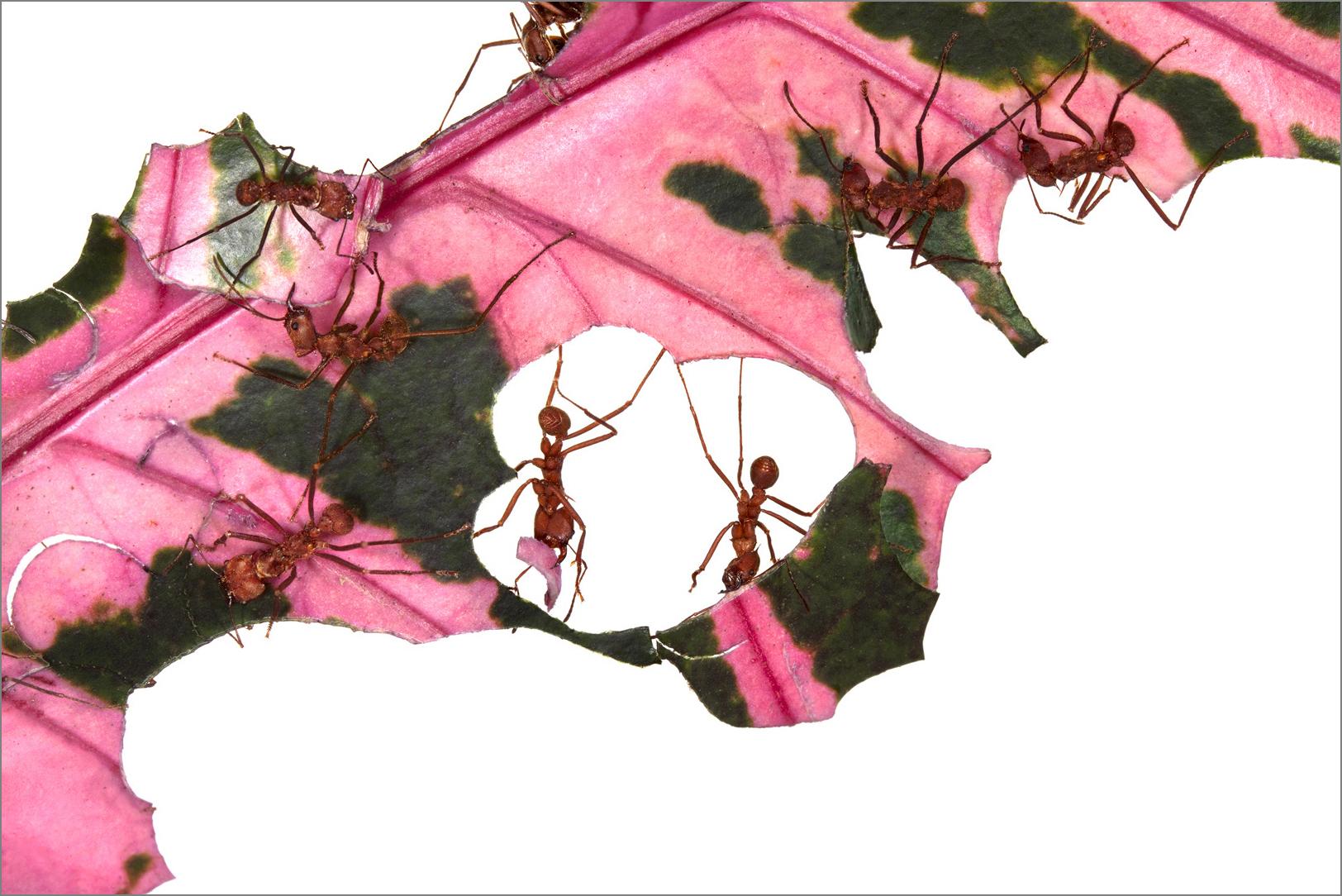antworks_pink_4g.jpg