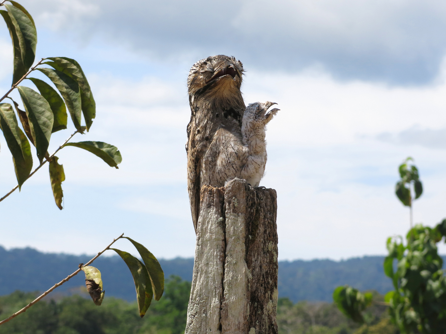 Potoo with baby, Costa Rica
