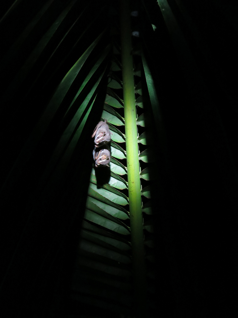 Bats, Costa Rica