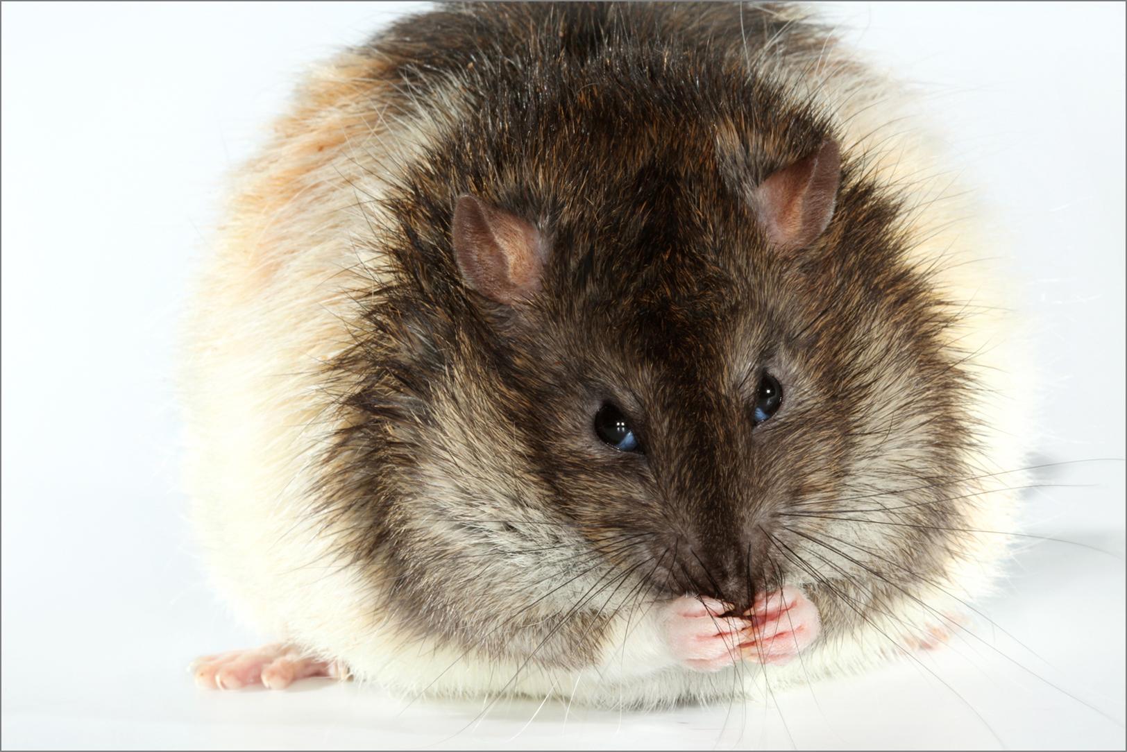 OBESE RAT