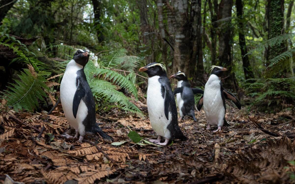 Fiordland-lodge-penguins.jpg