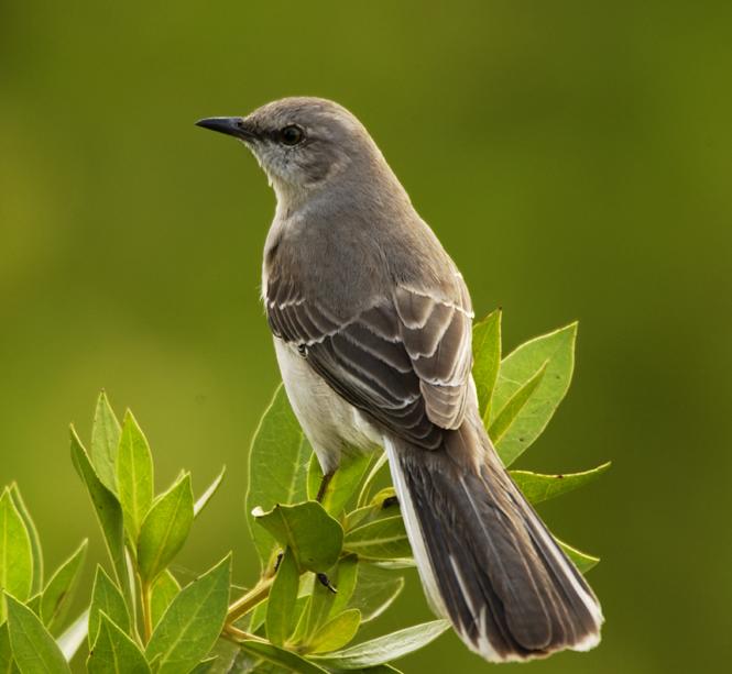 mockingbird11