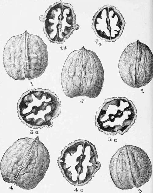 Persian-WalnutS