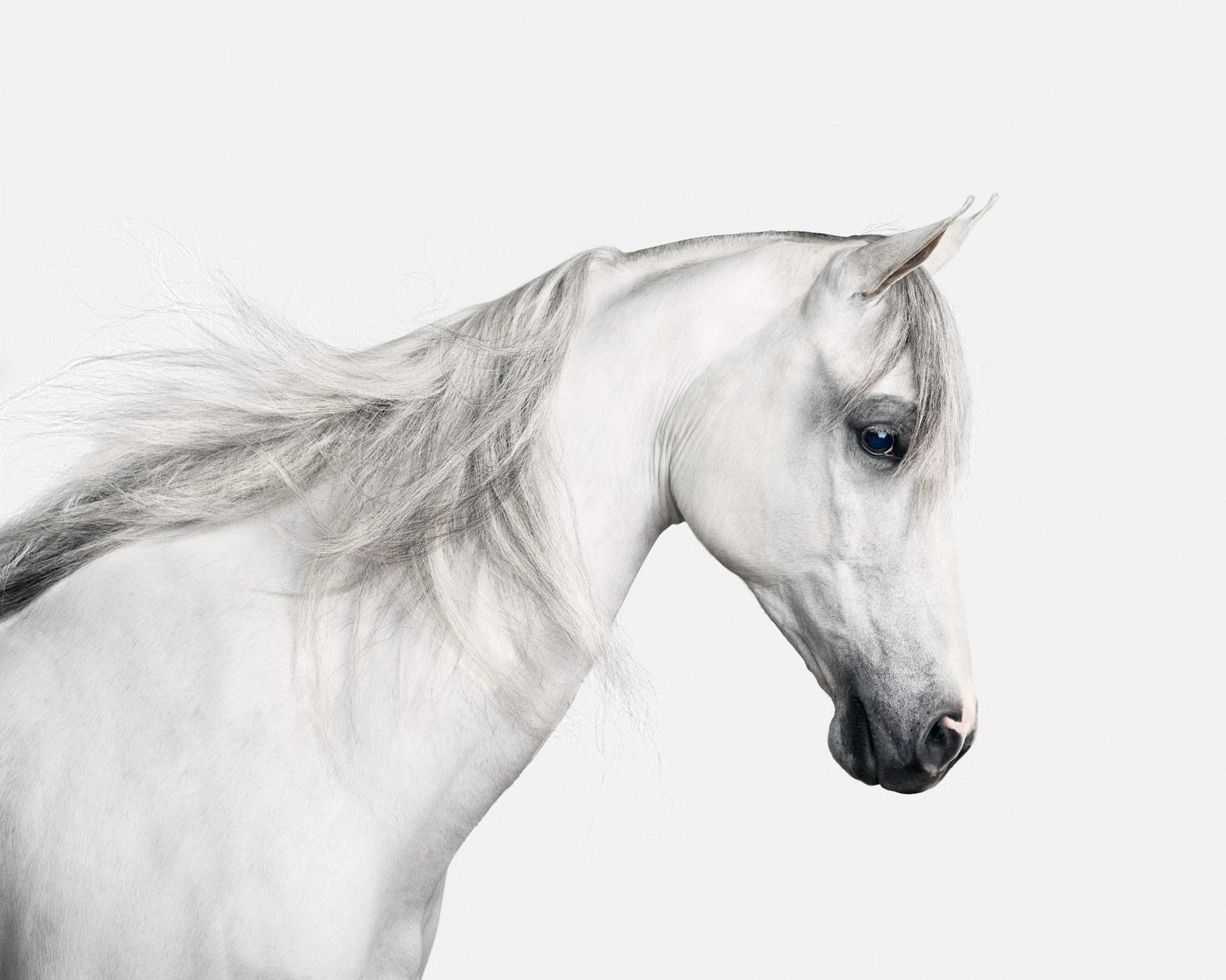 white-arabian-2_40X50.jpg