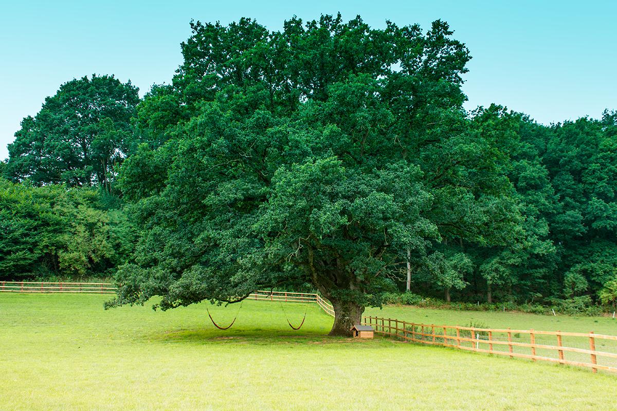 Hidden Wood - Oak Tree.jpg