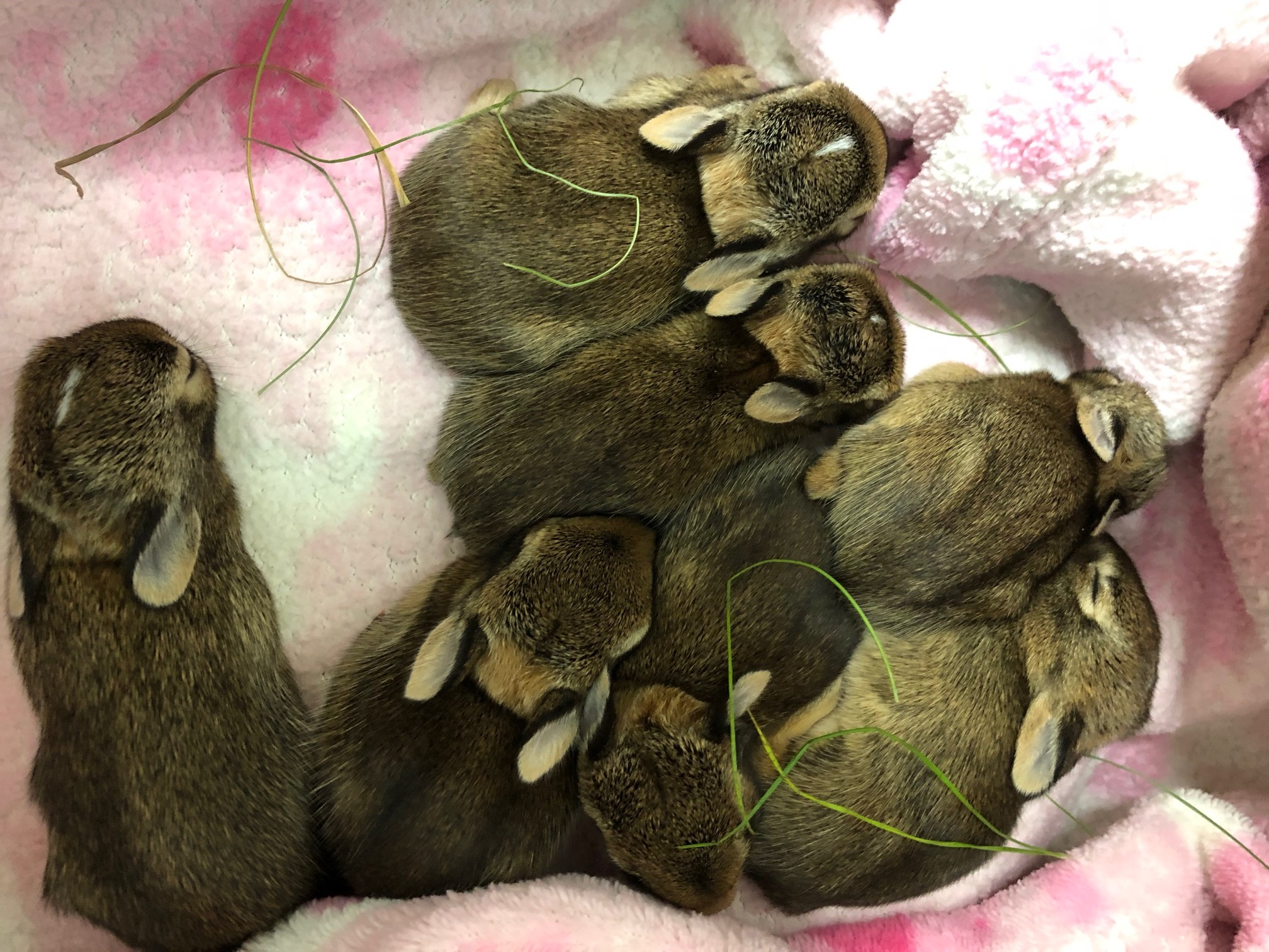 Eastern cottontail orphans cozy in the incubator