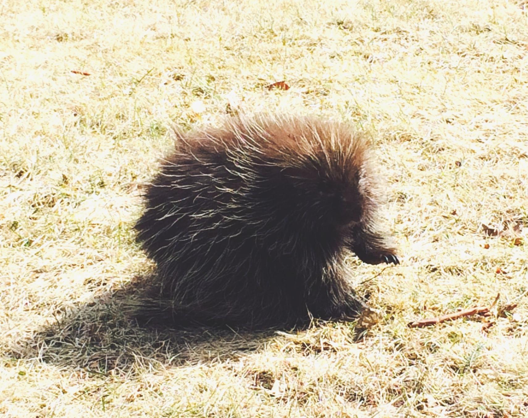Porcupette (juvenile porcupine)