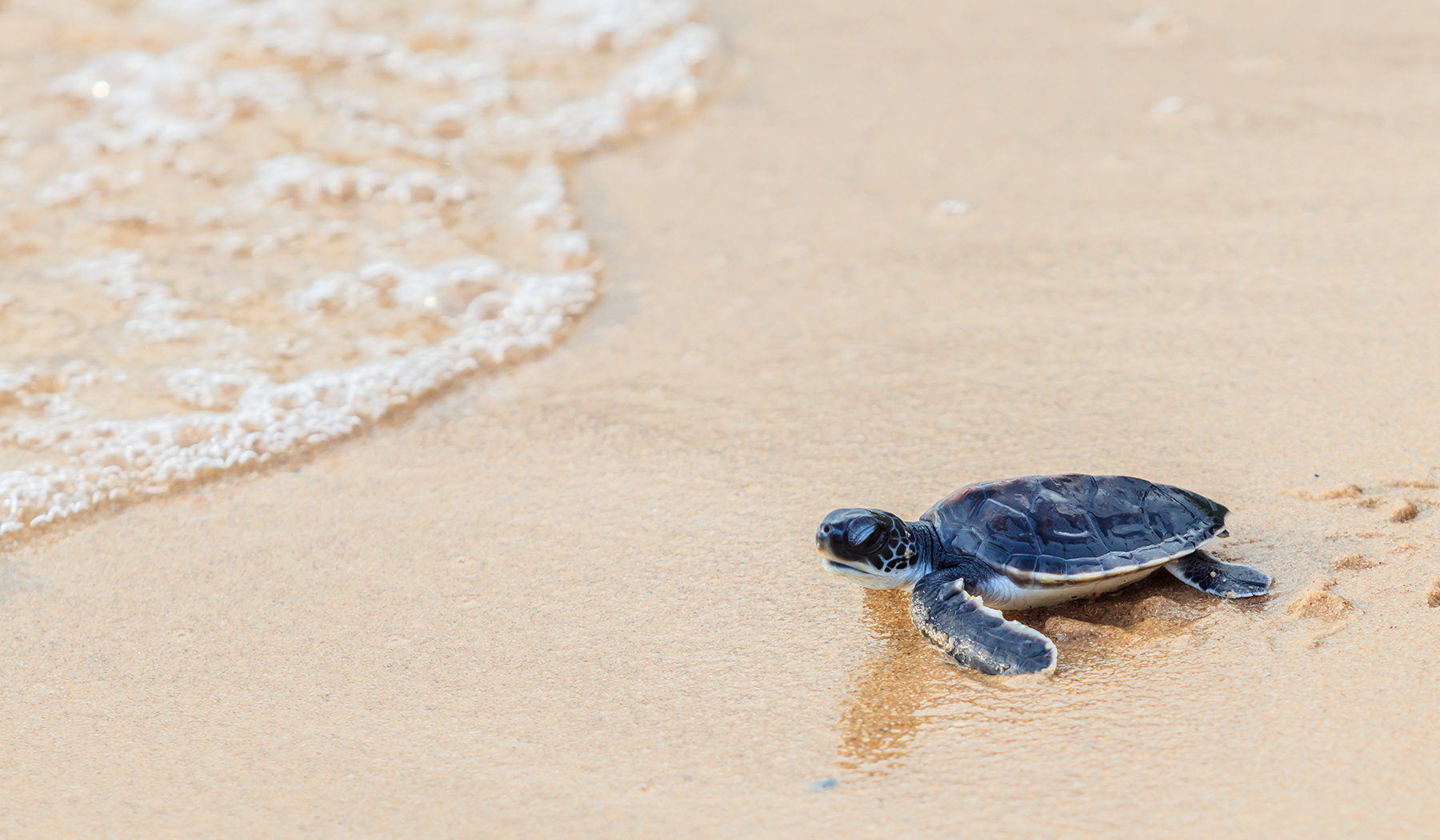 Baby Sea Turtle Blog.png