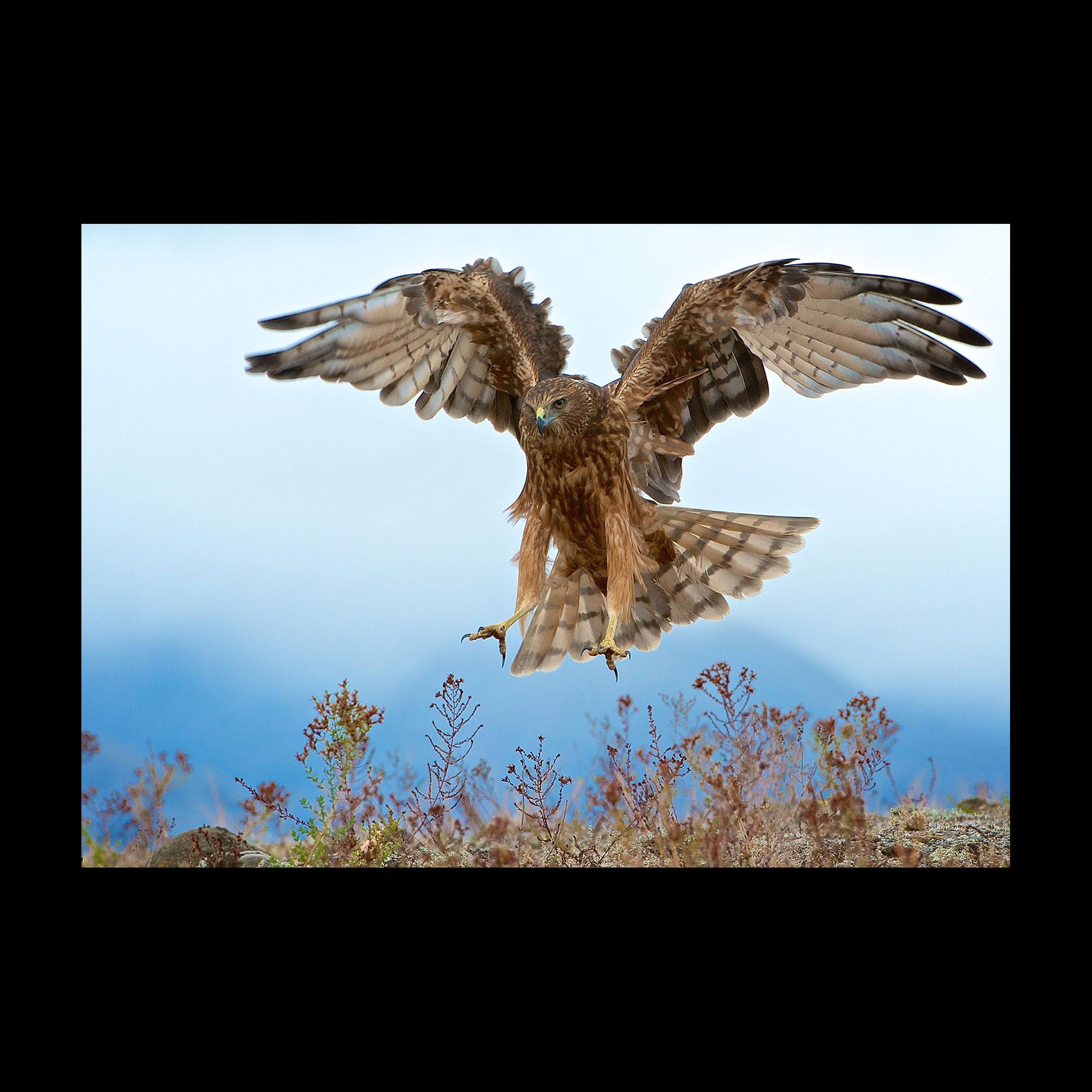 Wild Kahu hawk