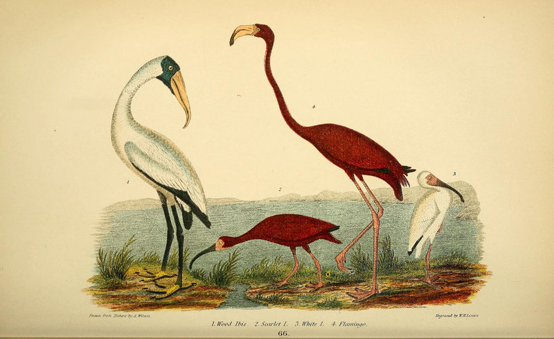 The Mystery of Florida's Flamingos