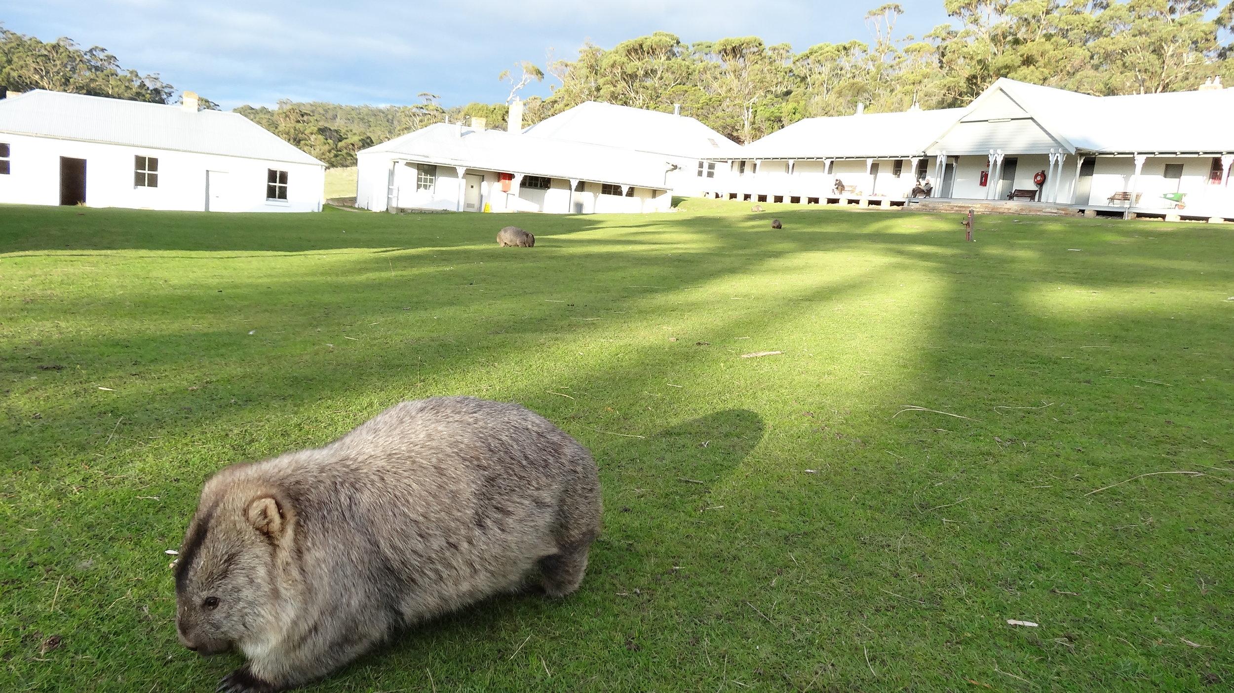 Penitentiary & wombats grazing around buildings.JPG