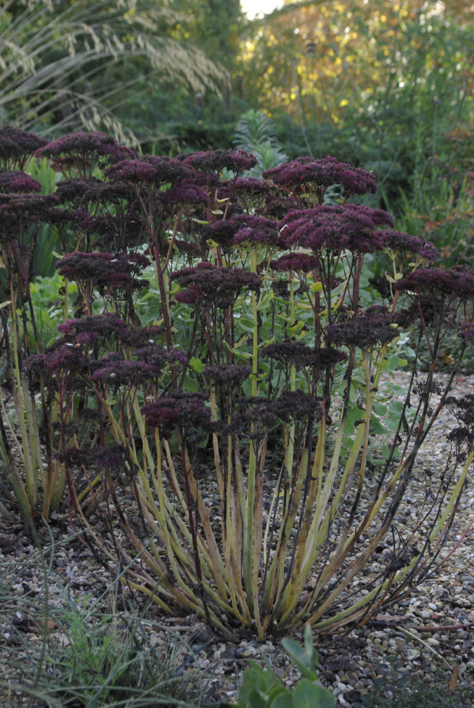 The purple of this Achillea's umbel seed heads add interest and colour to the Gravel Garden