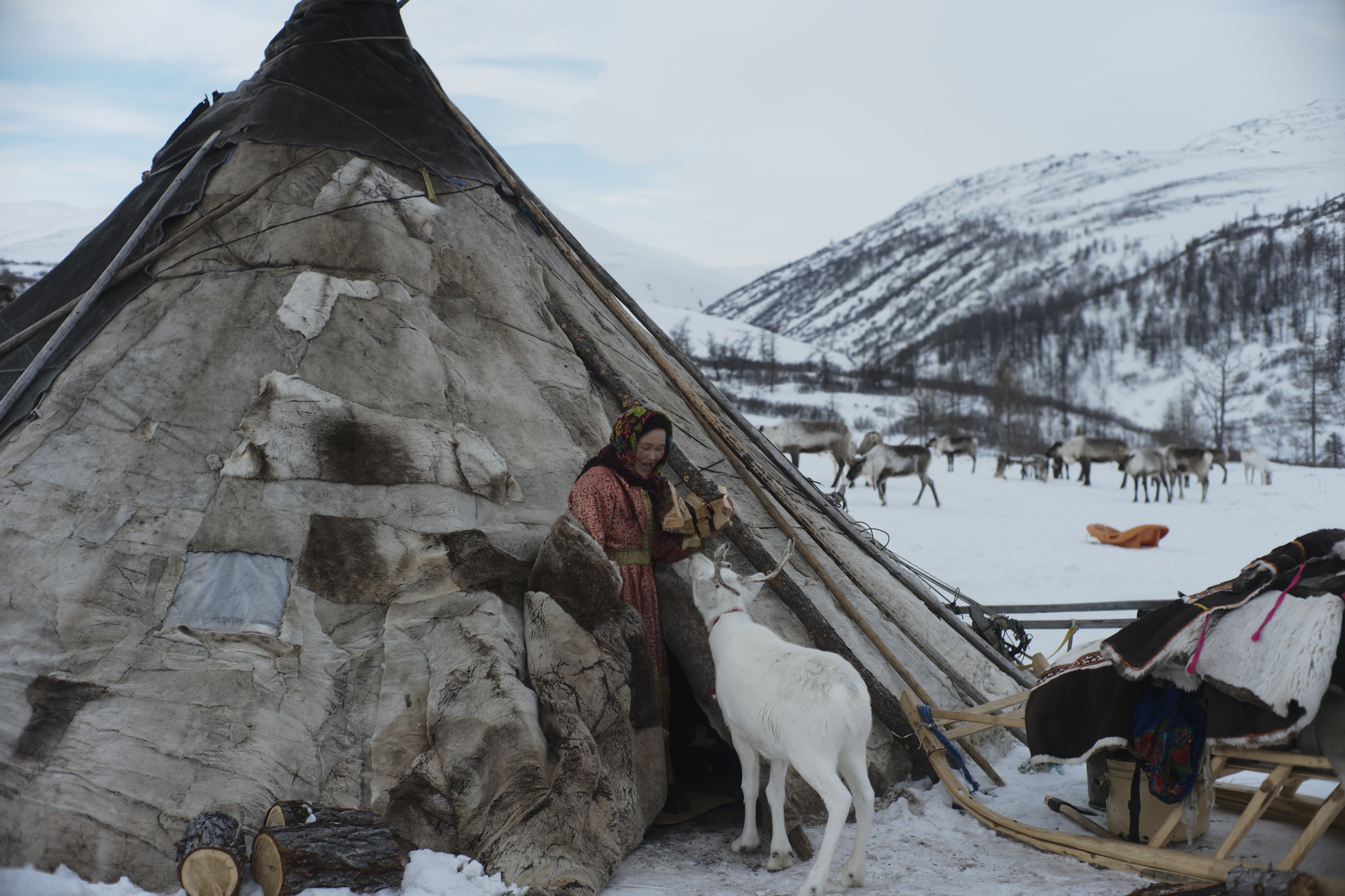 The Nenets reindeer herder, Svetlana, with her white pet reindeer outside the chum (tent). Photographed with Leica Q2, Siberia, 2019.  ©  Rosalynn Tay.