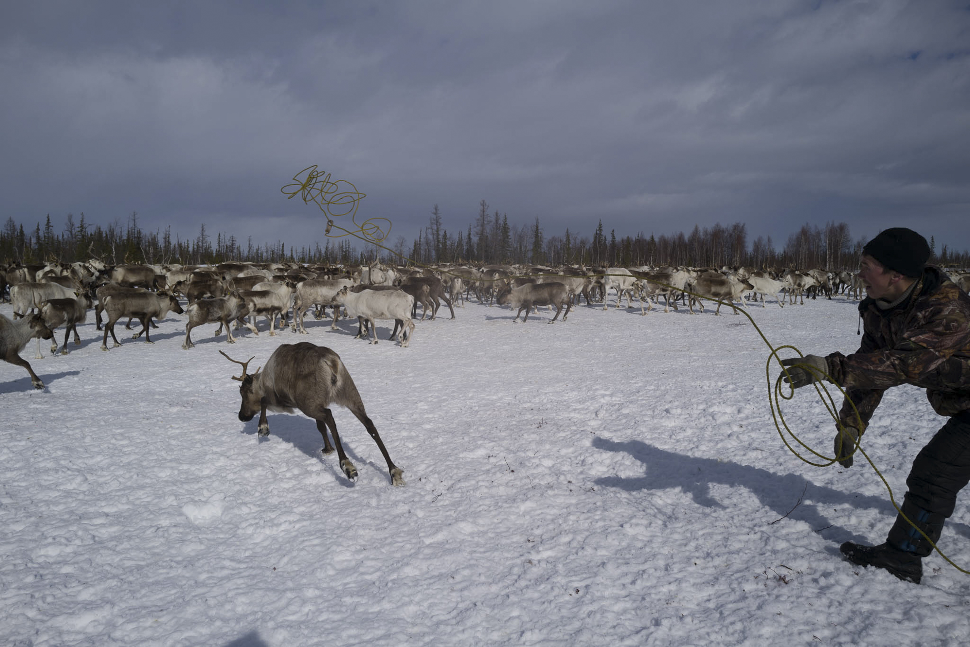 The reindeer herder catches the reindeer with a lasso. Photographed with Leica Q2, Siberia, 2019.  ©  Rosalynn Tay.