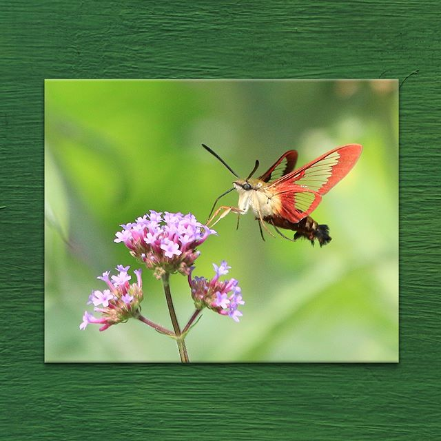 Happy Spring 🌸  Hummingbird Moth shot by #ArtToDreamFor Artist #BobGeremia 11 x 14 in. Photo printed on Metal . . . . . #hummingbirdmoth #hummingbird #insects #wildlife #wildlifephotographer #wildlifeart #happyspring #springseason #springequinox #spring #naturephotography #photography #photographer #arttodreamfor #artist #fineart #artvendor #artsales #artleasing #artgallery #gallery #photographersofinstagram #artistsofinstagram