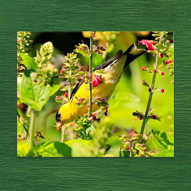 Goldfinch captured by #ATDF #Photographer Bob Geremia 📸🦜 11 x 14 in. Printed on Metal; custom sizing available through #LinkInBio . . . . . #ArtToDreamFor #FineArt #Photography #Photograph #PhotographersofInstagram #ArtistsOfInstagram #Artist #WildlifePhotography #WildlifeArt #BirdWatching #BirdPhotography #Goldfinch #NaturePhotography #Spring #Springtime #ArtSales #ArtLeasing #ArtVendor