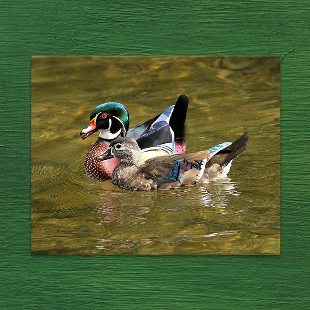 "A word from the #Photographer: ""Philadelphia Valley Green Duck Wood Duck pair, perfect together! This guy was really protective of its mate because if any other duck just swam by, it was on it in a heartbeat. Atta Boy!"" 🦆  Shop the Photo Print on Metal through the #LinkInBio . . . . . #PhiladelphiaValley #Philadelphia #DuckPond #WoodDuck #GreenDuck #BirdWatching #Wildlife #WildlifePhotography #Photography #PhotoPrint #PrintedOnMetal #PhotographersOfInstagram #ArtistsOfInstagram #Artist #Photographer #FineArt #ArtSales #ArtLeasing #ArtDaily"