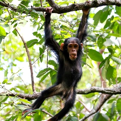 Lake Shore Lodge Tz - Lake Tanganyika - Adventure Safaris - Mahale NP - Baby chimp hanging - photo from Julie & Billy.jpg