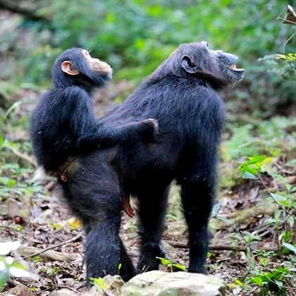 Lake Shore Lodge Tz - Lake Tanganyika - Adventure Safaris - Mahale NP - Baby chimp riding on mummy's back looking up - photo from Julie & Billy.jpg