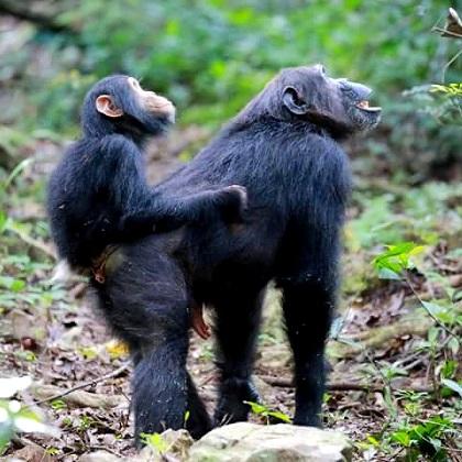 Lake Shore Lodge Tz - Lake Tanganyika - Adventure Safaris - Mahale NP - Baby chimp riding on mummy's back looking up - photo from Julie & Billy.jpg