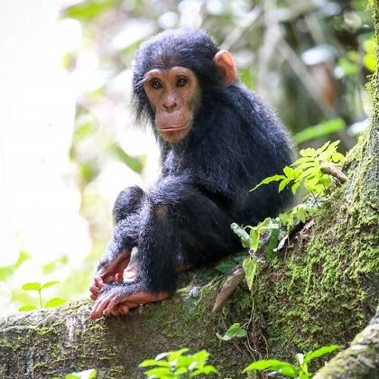 Lake Shore Lodge Tz - Lake Tanganyika - Adventure Safaris - Mahale NP - Baby chimp - photo from Julie & Billy.jpg
