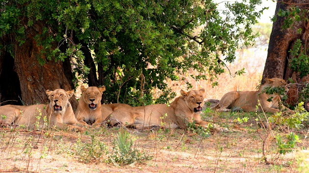 Lake Shore Lodge Tz - Lake Tanganyika - Adventure Safaris - Katavi - Lions.jpg