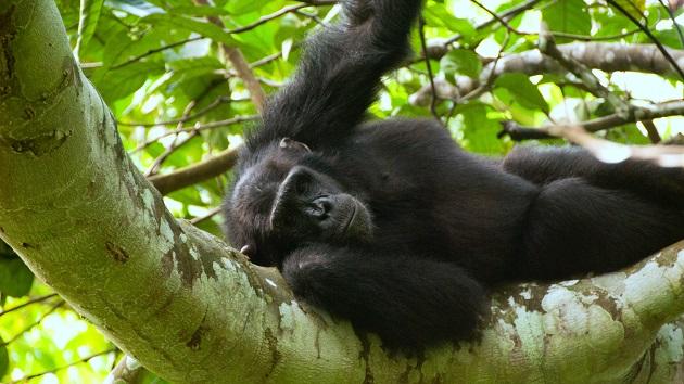 Lake Shore Lodge Tz - Lake Tanganyika - Adventure Safaris - Mahale NP - Chimp.jpg
