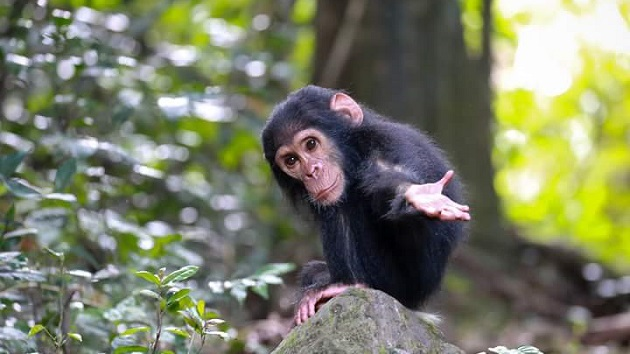 Lake Shore Lodge Tz - Lake Tanganyika - Adventure Safaris - Mahale NP - Baby chimp with hand out - photo from Julie & Billy.jpg