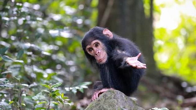 Lake Shore Lodge Tz - Lake Tanganyika - Adventure Safaris - Mahale NP - Baby chimp with hand out - photo from Julie & Billy.jpg
