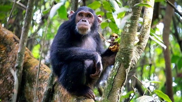 Lake Shore Lodge Tz - Lake Tanganyika - Adventure Safaris - Mahale NP - Chimp pulling a face - photo from Julie & Billy.jpg