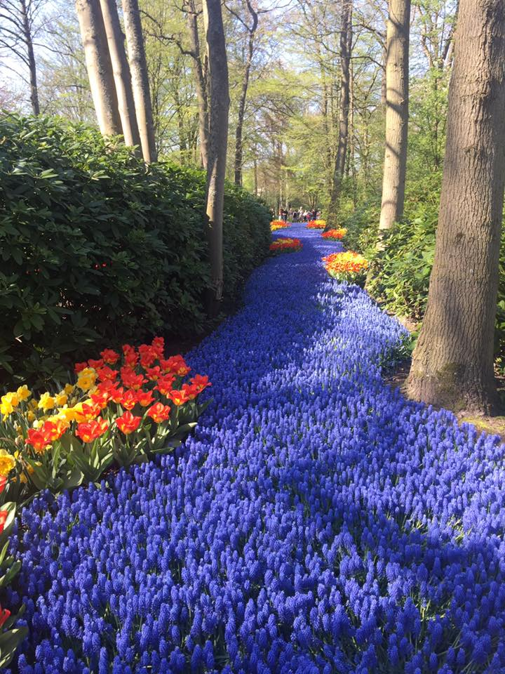 Lucky to have witnessed the beauty of tulips and various flowers in Amsterdam at Keukenhof Gardens in April 2018.