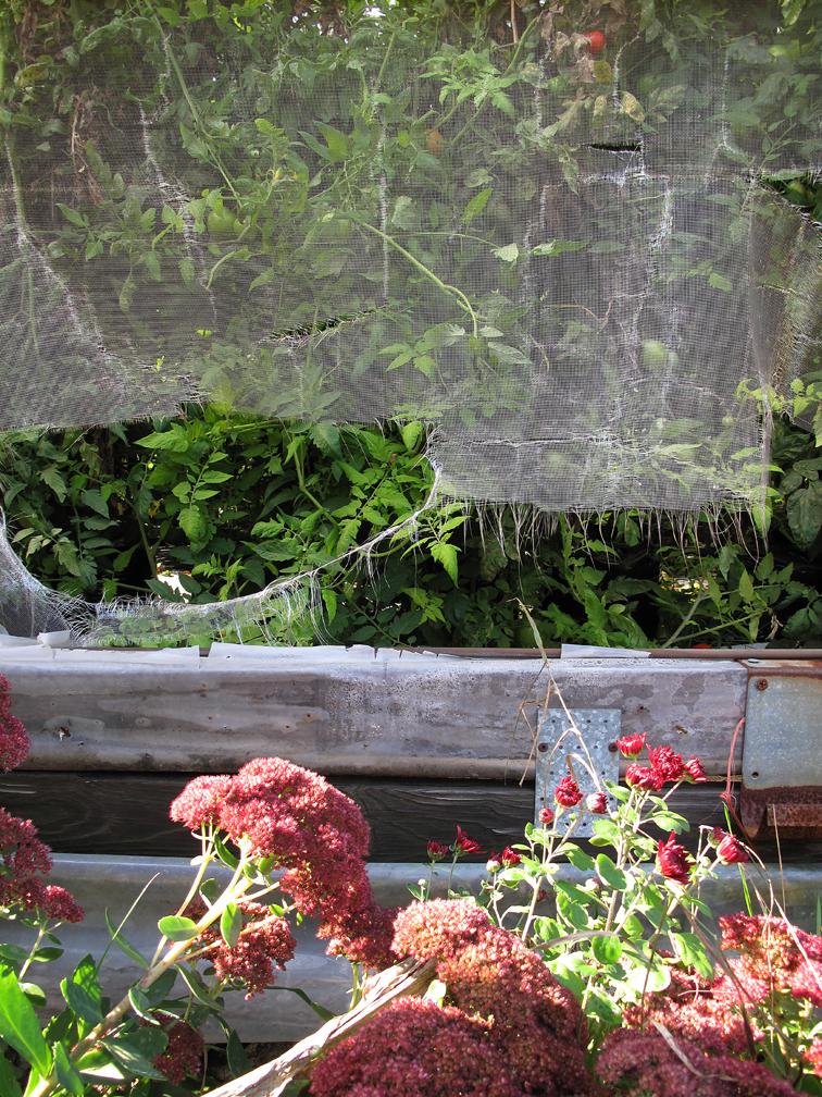Autumn sedum and torn netting
