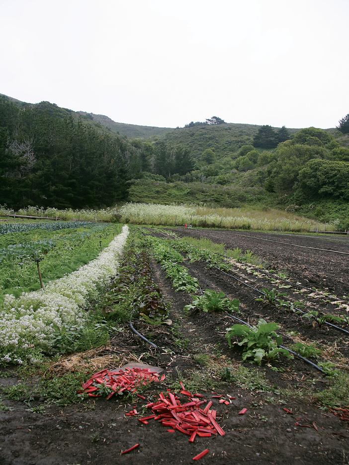 Cut rhubarb in field