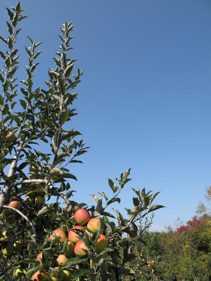 Apple grove