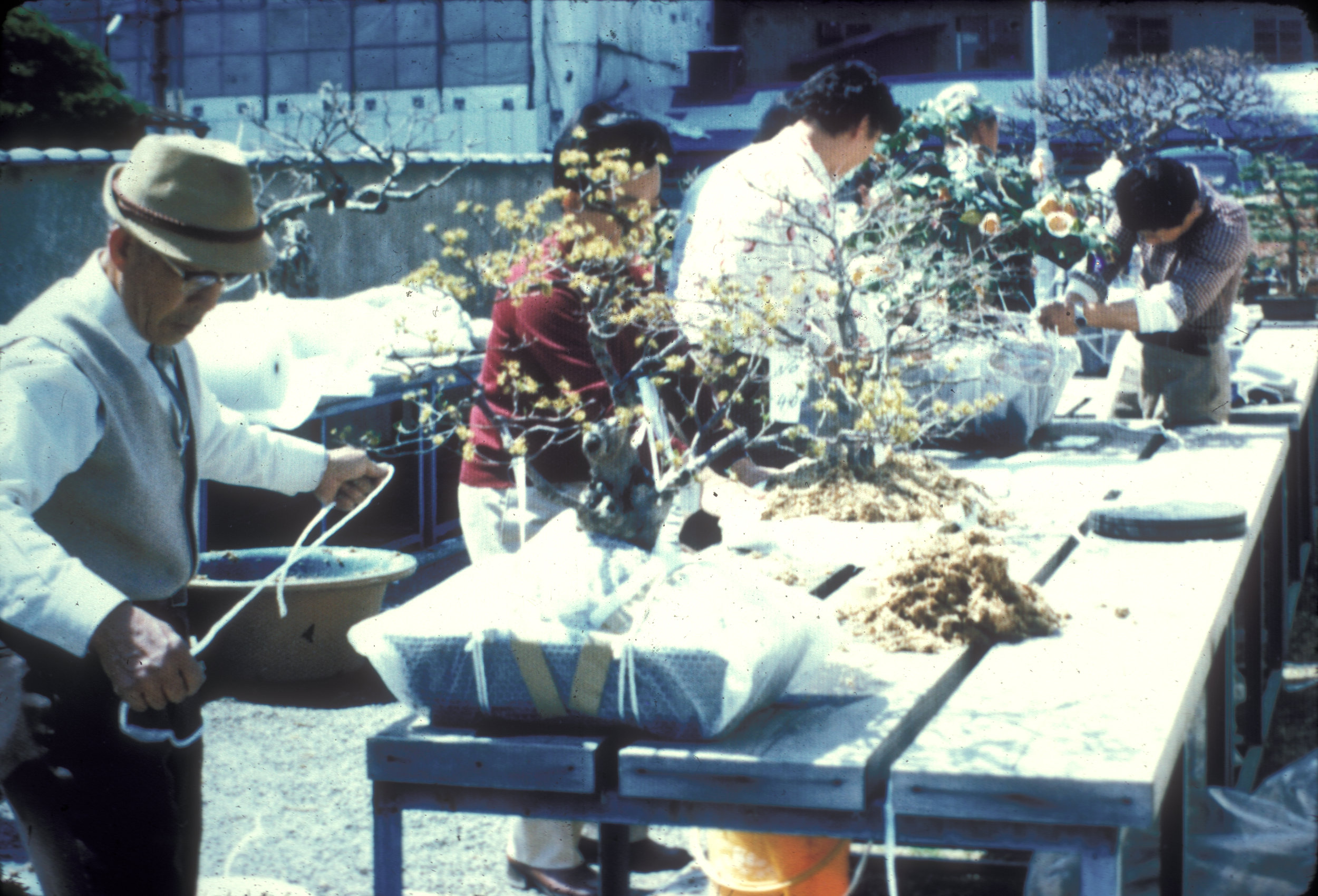Japanese prepare for shipment of bonsai gift (1976).