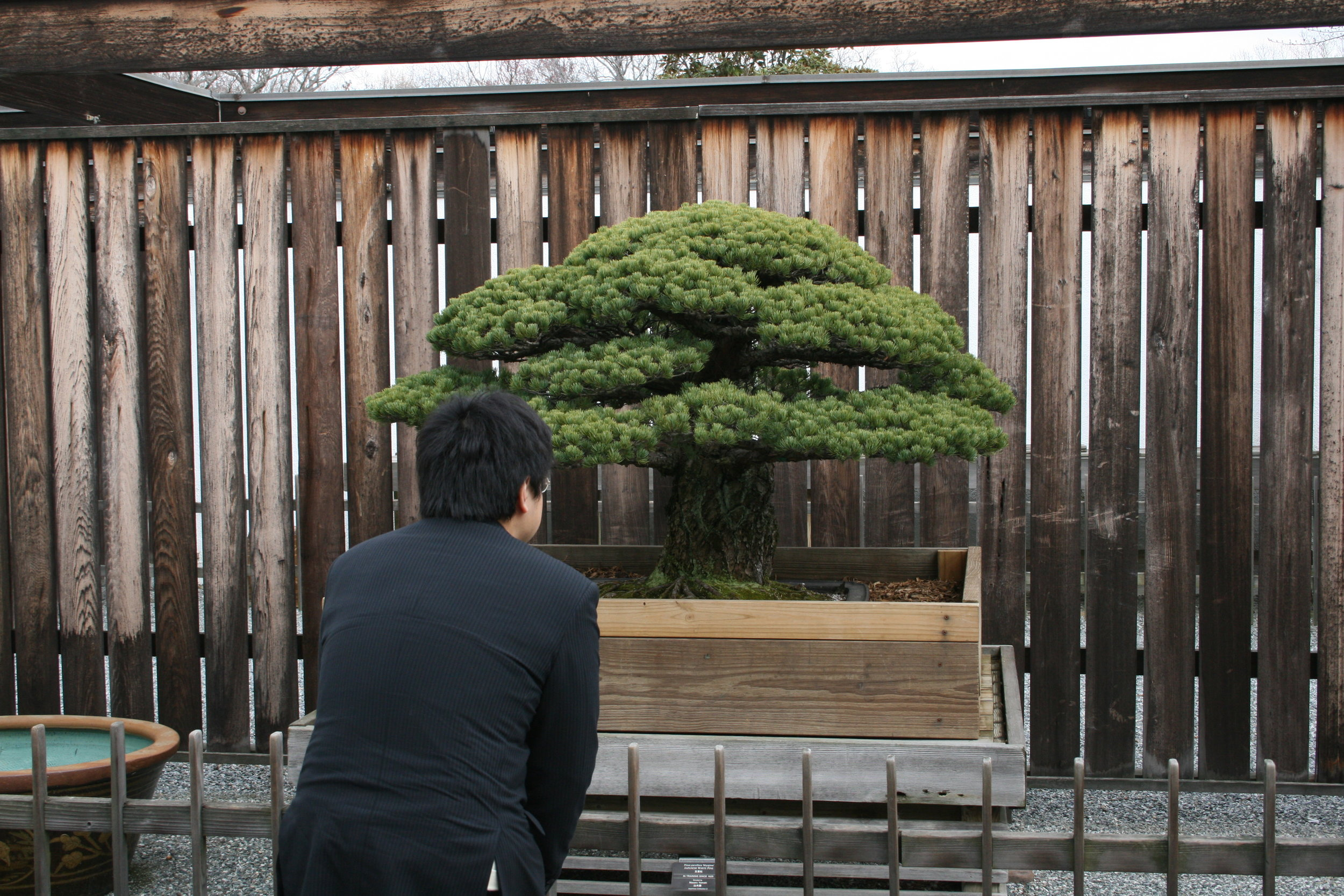 Yamaki grandson bows to the tree at the Museum. The tree and its roots are prepped for winter storage with a custom built wooden container.