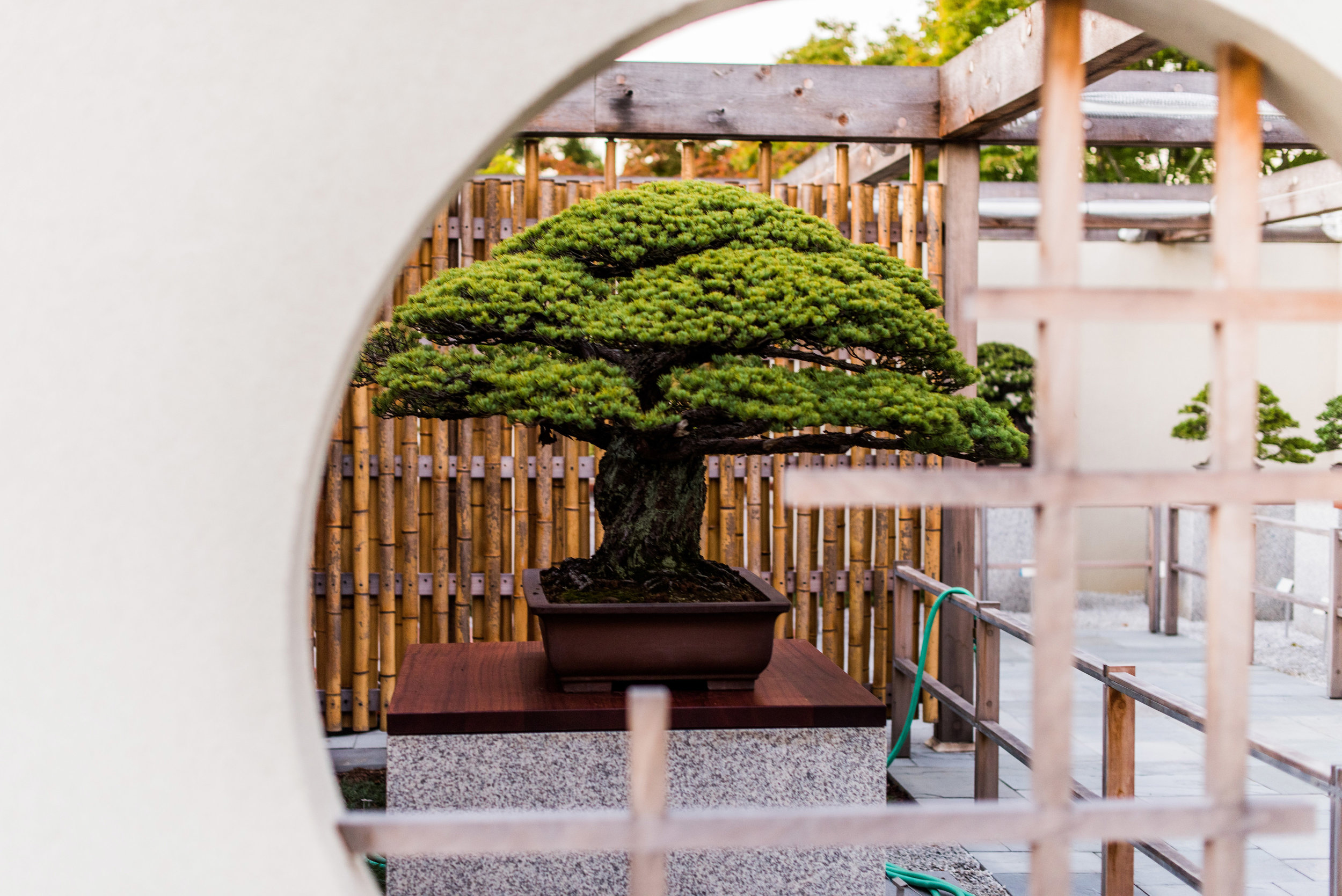 Yamaki Pine