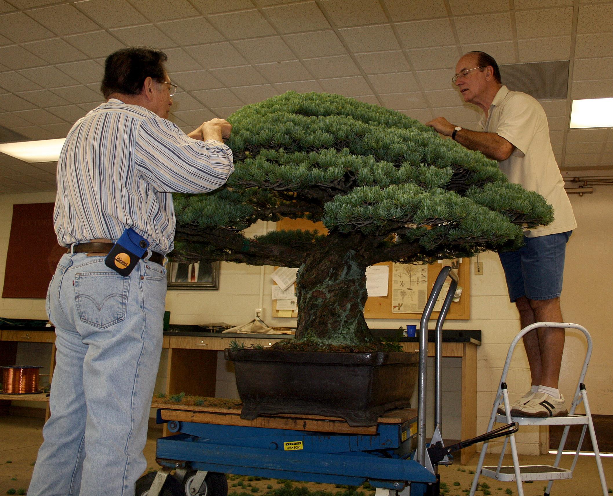 Pruning the Yamaki pine